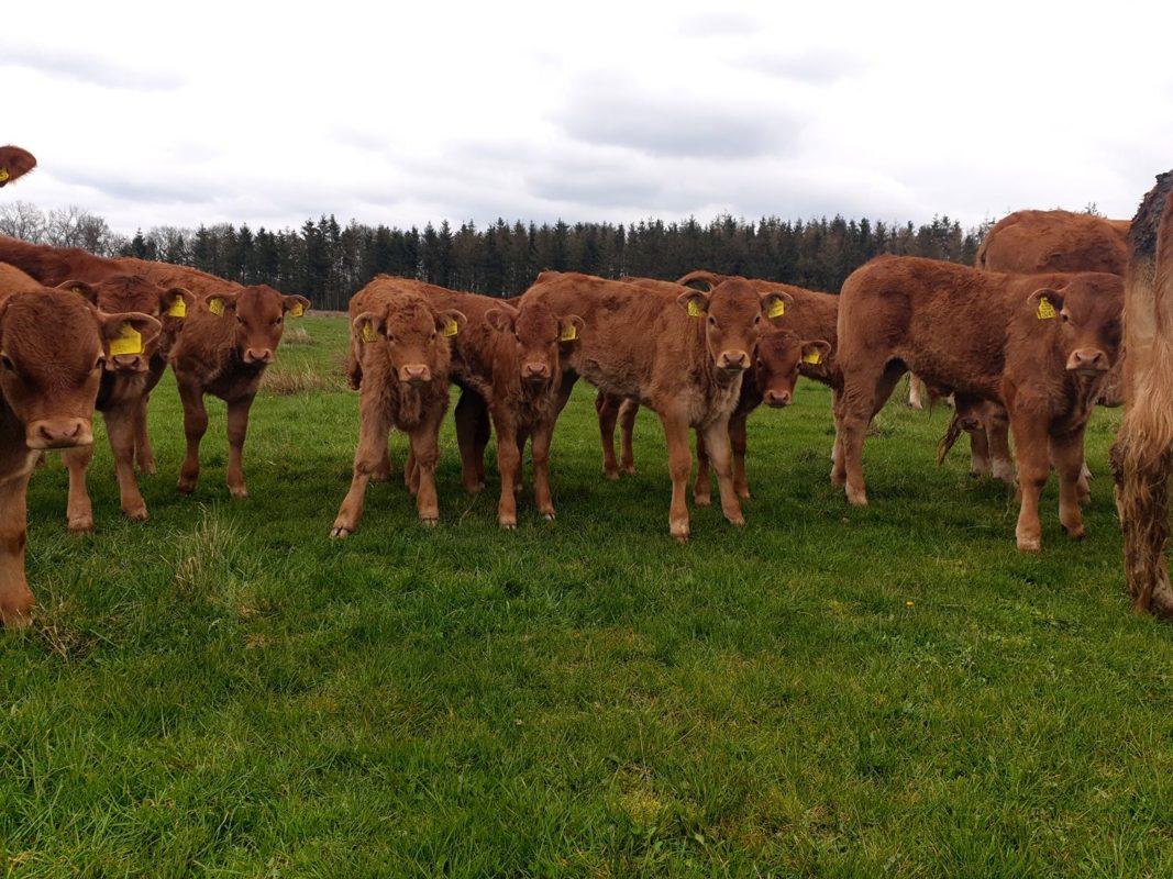 Jonge Limousine runderen , kalveren | Hooge Stoep | BoerenBeef | Biologische boerderijwinkel Nieuw Balinge