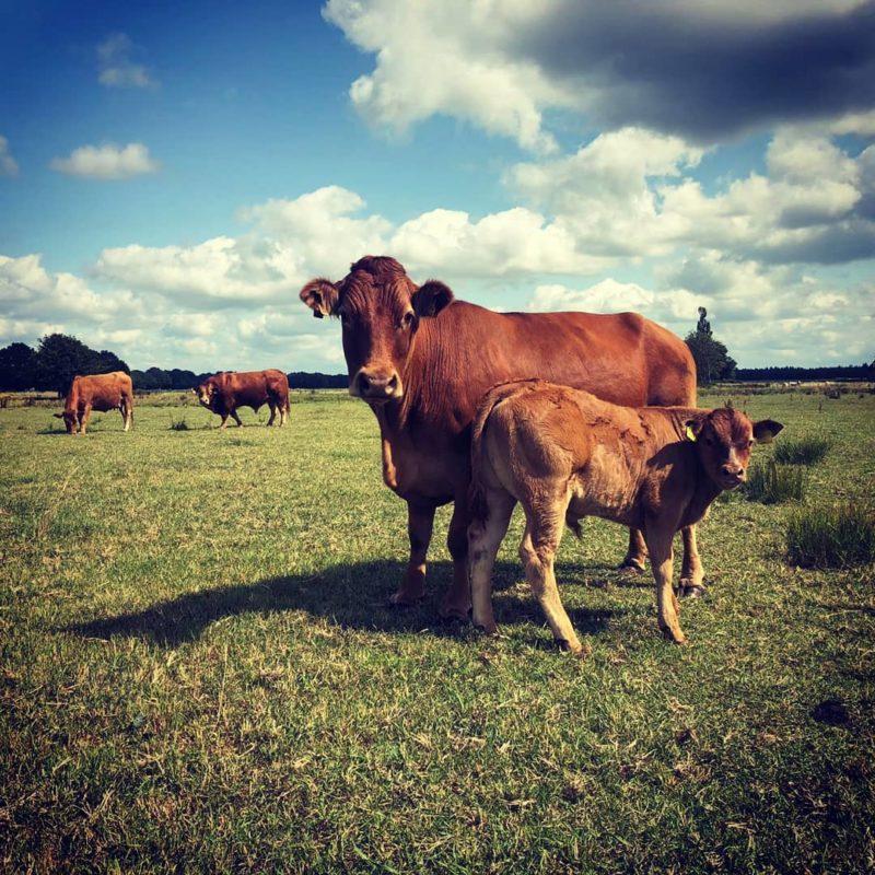 Limousin Runderen bij de Hooge stoep