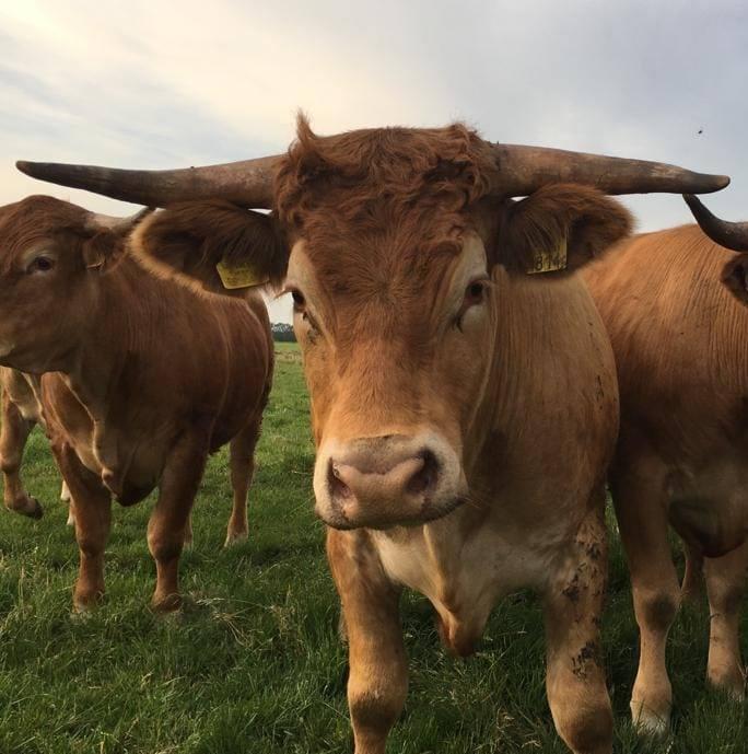 Limousin Runderen bij Boeren Beef